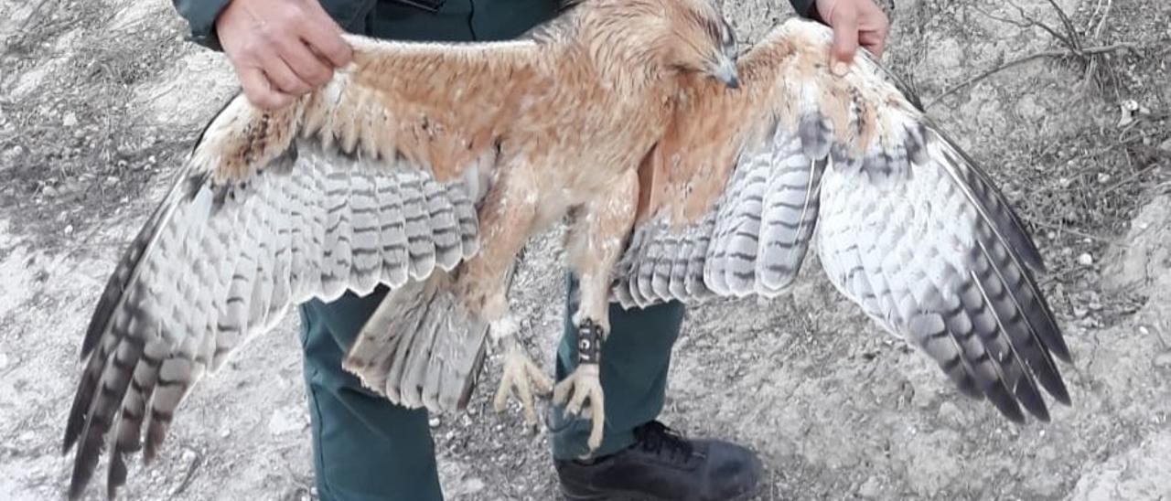 Imagen de un ejemplar de águila perdicera hallada electrocutada en Jacarilla.
