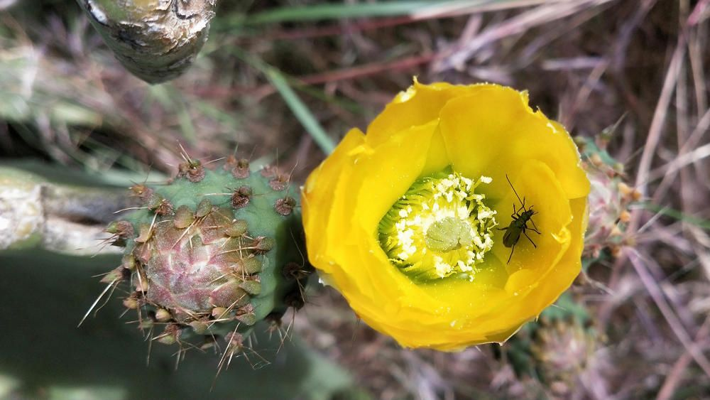 Figa de moro. És una espècie invasora originària d'Amèrica. De flors grogues molt vistoses. Floreix del maig al juliol. El fruit, de color vermell quan és madur, està cobert d'espines, és dolç i ric en aigua, i es pot recollir entre el juny i l'agost.