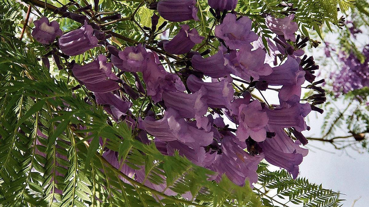 Mit den Blüten bilden sich nach der winterlichen Ruhepause die Blätter. Sie erinnern an die der Mimose.