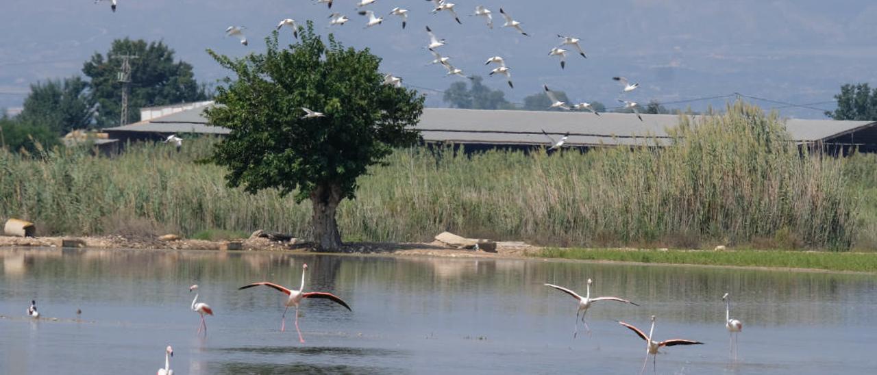 Numerosas aves campan a sus anchas por terrenos anegados en el término de San Fulgencio, que ha sufrido las efectos graves de la gota fría y el desbordamiento del río Segura.