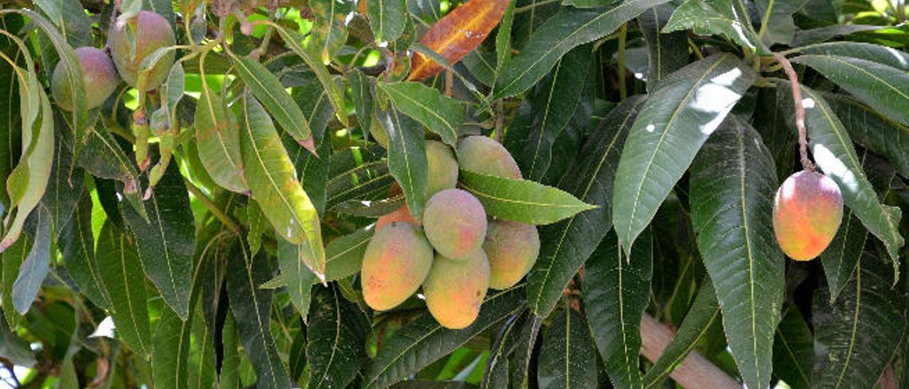 Mundo mango