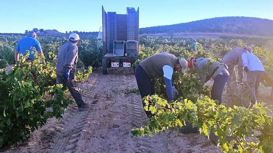 Vendimia 2020: La DO Toro prevé que la cosecha de uva supere este año los 20 millones de kilos