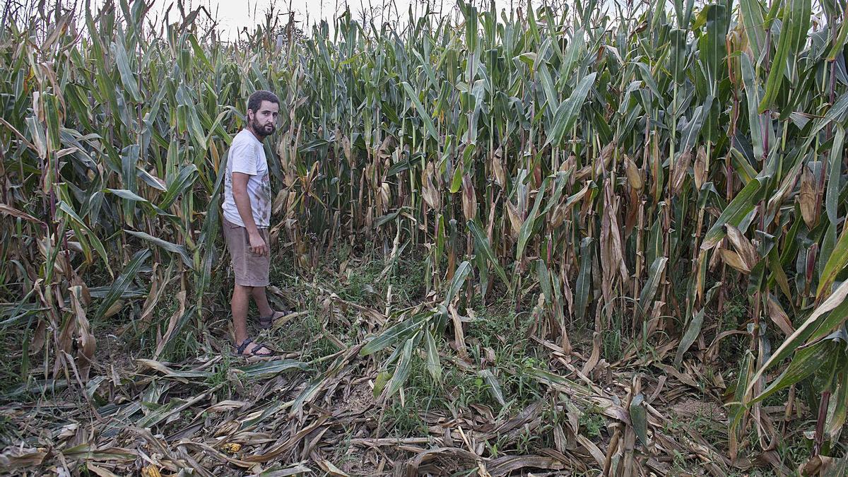 El pagès Joan Planas mostrant algunes de les destrosses fetes pels senglars en un camp de blat de moro