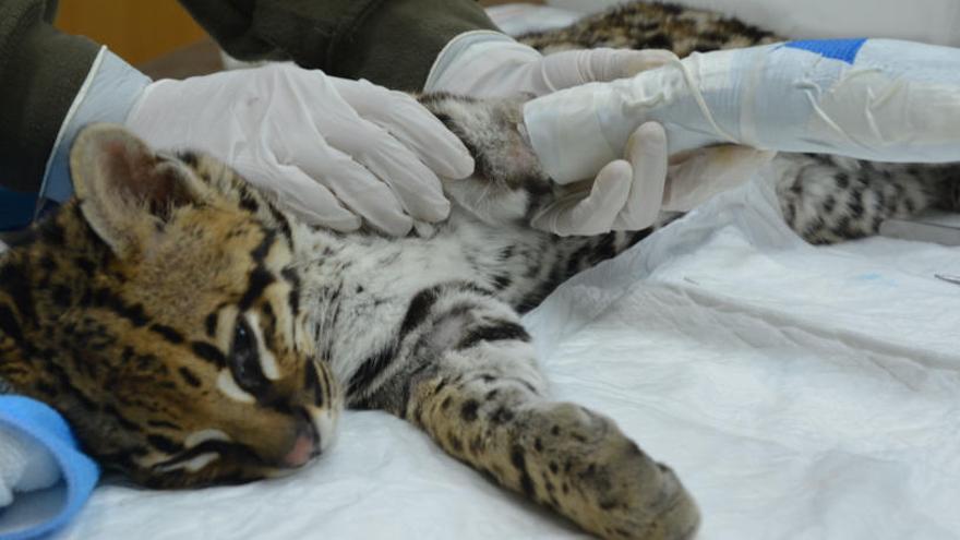 Los veterinarios de Terra Natura salvan una pata a una cría de ocelote