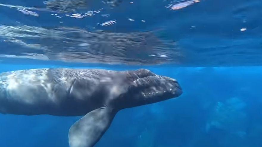 Excepcional avistamiento en Canarias de una ballena franca