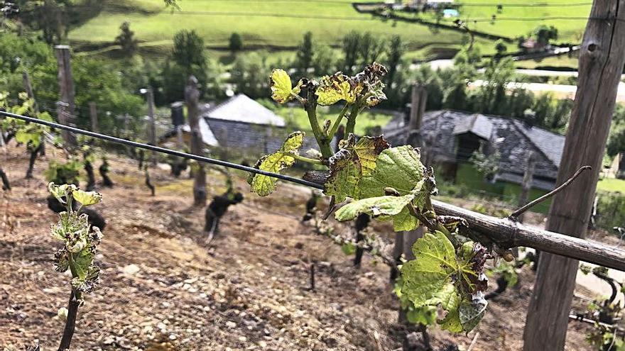 Las heladonas mermarán, como poco, un 30% la producción de vino de Cangas