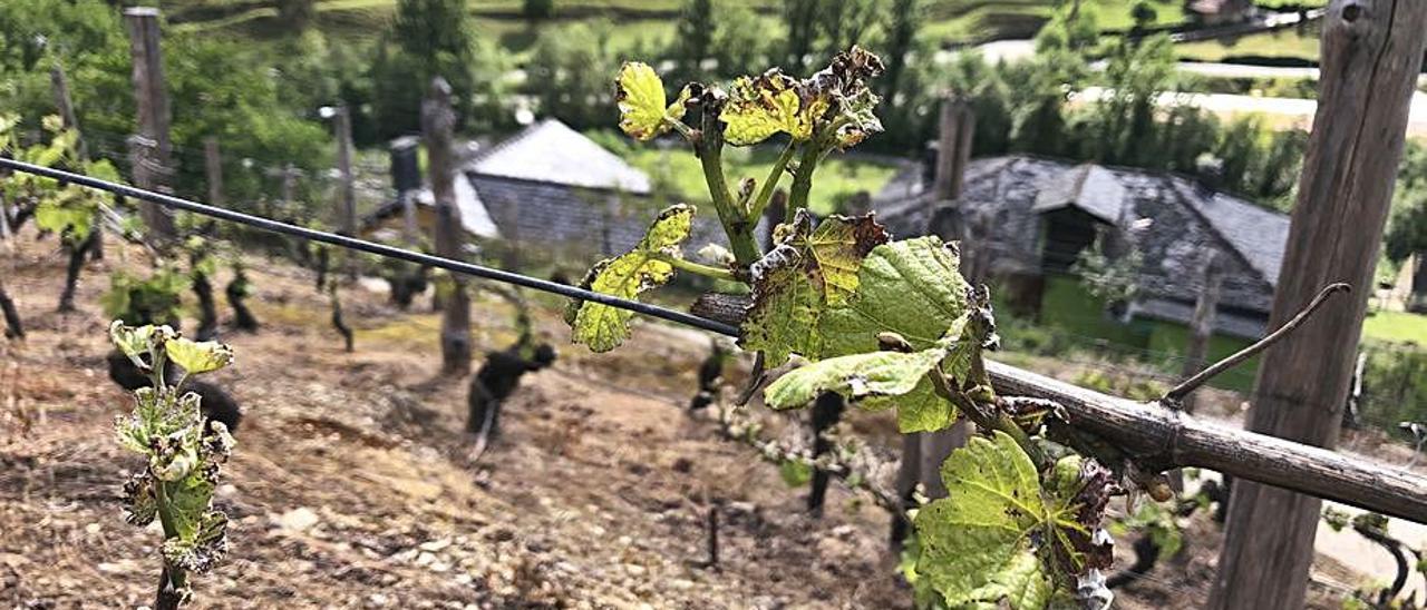 Cepas afectadas por la helada en el viñedo de Las Barzaniellas. | D. Á.
