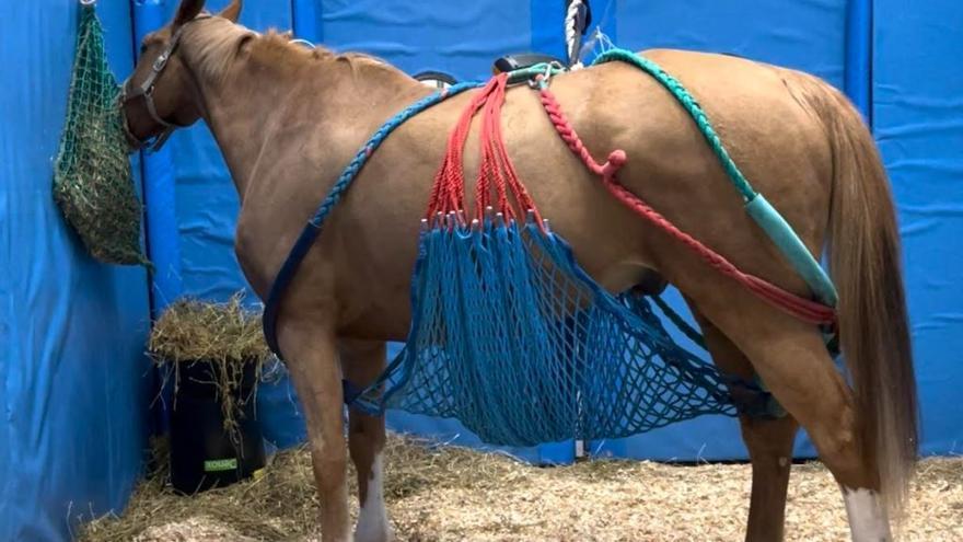 Vuelven los certámenes de equinos tras el brote de rinoneumonía