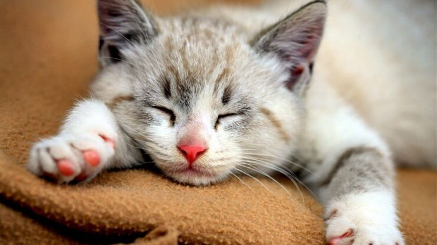 Hoy, Día Mundial del Gato: descubre el origen silvestre de esta mascota