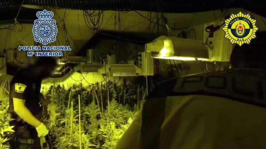 Intervienen más de un millar de plantas de marihuana en un chalé de Elche