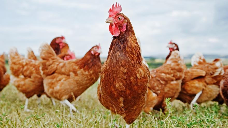 Nestlé rechaza el uso de jaulas en la cría de animales