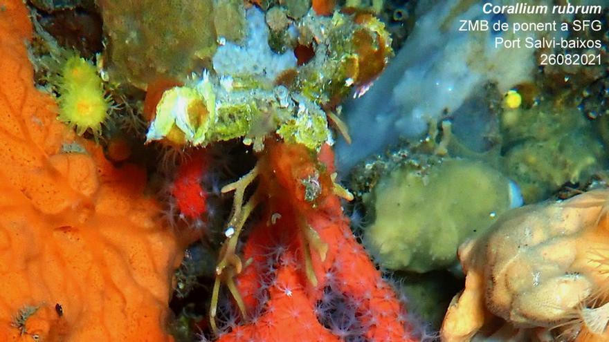 Espolien de la branca de corall vermell més gran del litoral de Sant Feliu de Guíxols