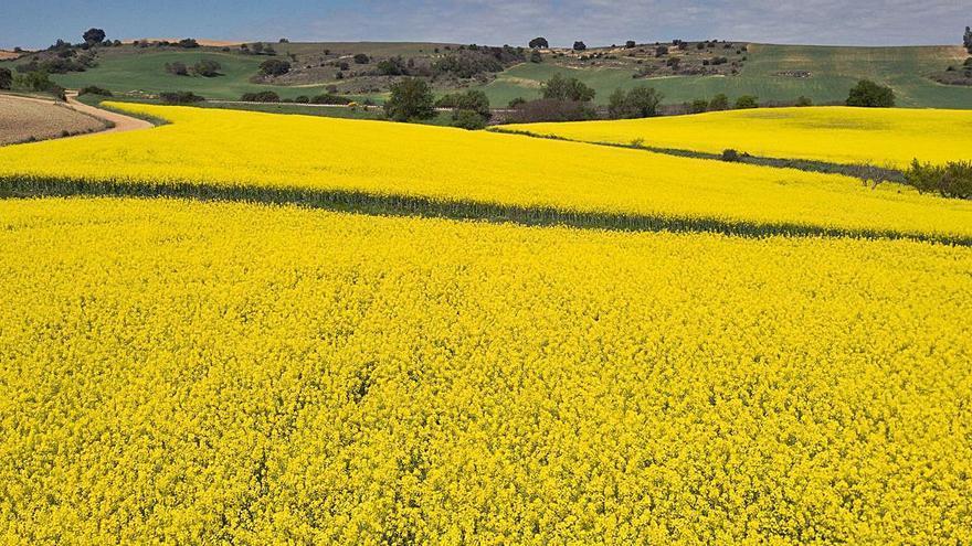 VÍDEO Y GALERÍA | Primavera amarilla en los campos de Zamora