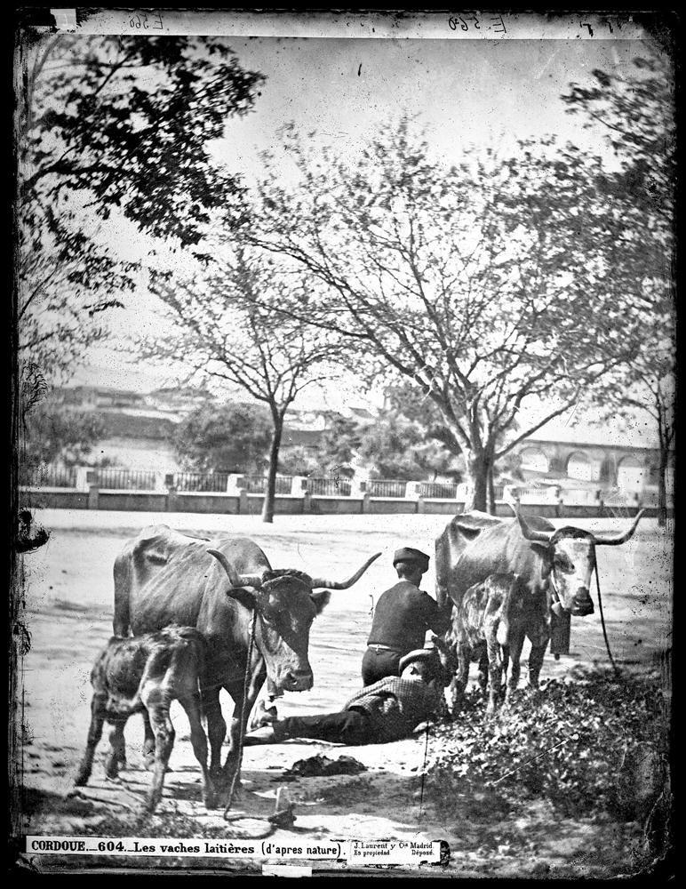 604 C�rdoba Vacas lecheras.jpg