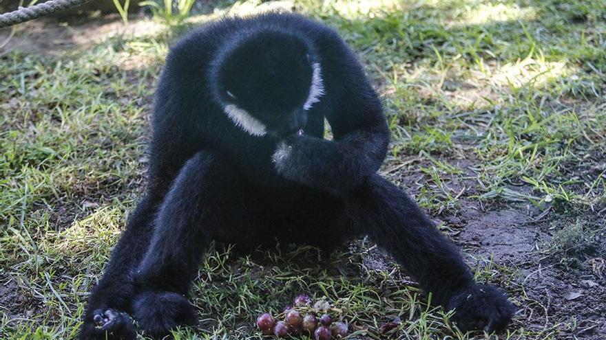 Un primate único