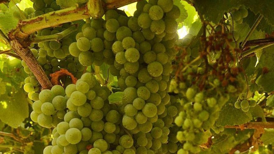 Bodegueros y viticultores, encantados con una lluvia que hidrata la uva y anticipa la vendimia