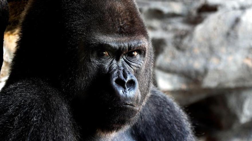 Un gorila de 200 kilos hiere gravemente a una cuidadora del Zoo de Madrid