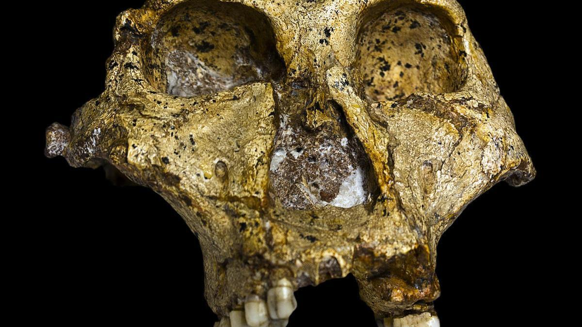Parte del cráneo de un Paranthropus robustus.