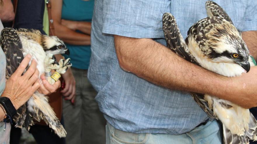 Muere electrocutada en Marruecos una de las águilas pescadoras introducidas en el Marjal de Pego
