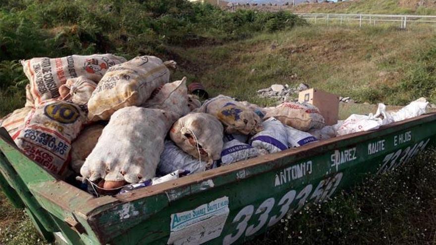 Recogen más de 120.000 kilos de papas bichadas en medio mes en La Orotava