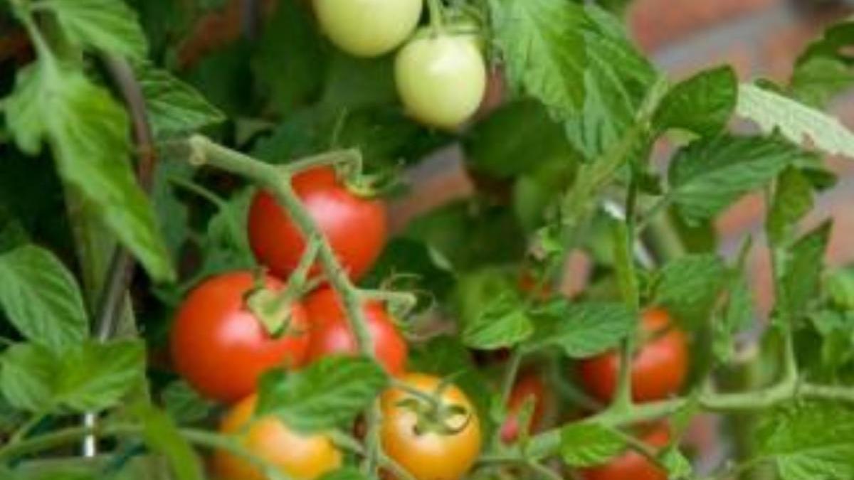 Tomates en la tomatera.