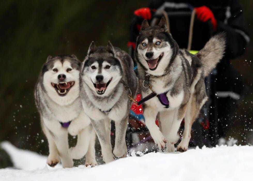 Competició de huskys siberians a Escòcia