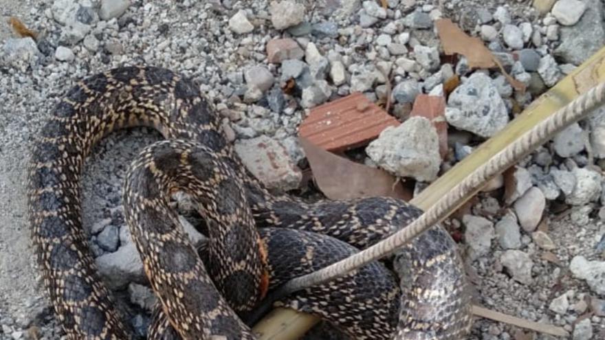 Localizan una culebra de herradura de más de 1,70 metros muy próxima a unas viviendas en Mula