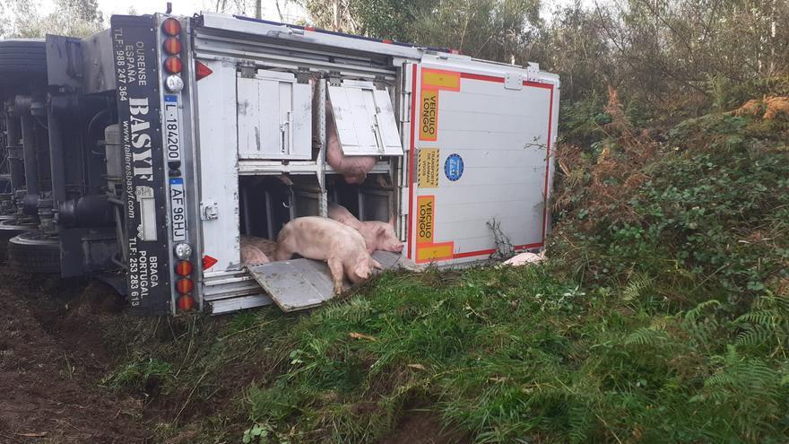 Un camión de transporte de cerdos vuelca en Carral