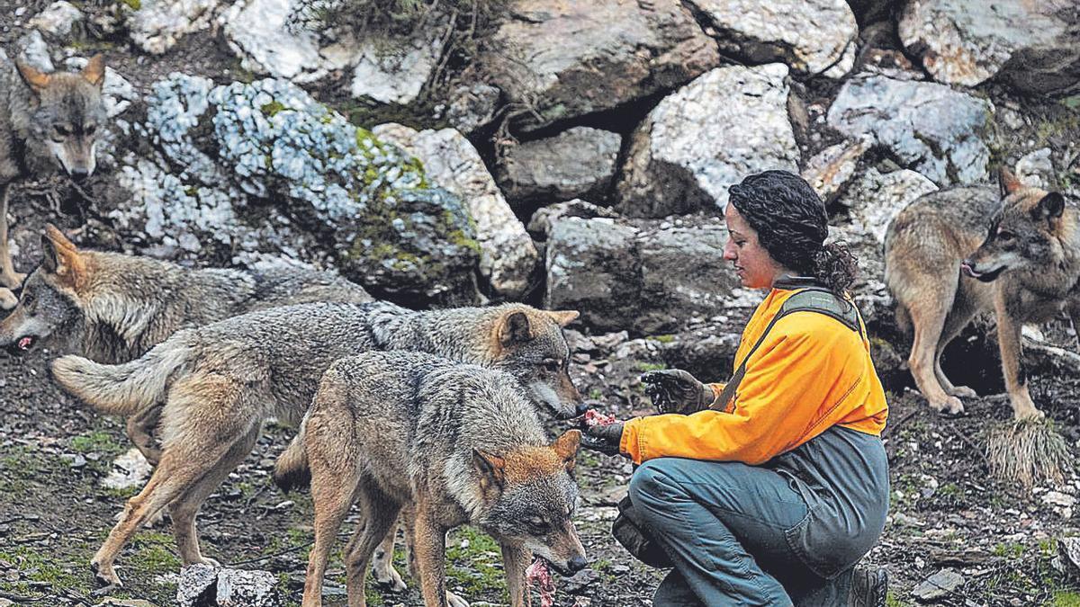 Una cuidadora da de comer a la manada en el Centro del Lobo Ibérico, en Sanabria.     // EMILIO FRAILE