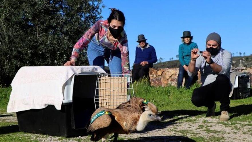 La historia de 'Tiroteo', el buitre que sobrevivió a 38 perdigonazos