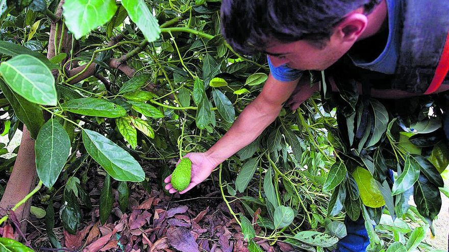 Denuncian el saqueo continuo de fincas de aguacate en Onda