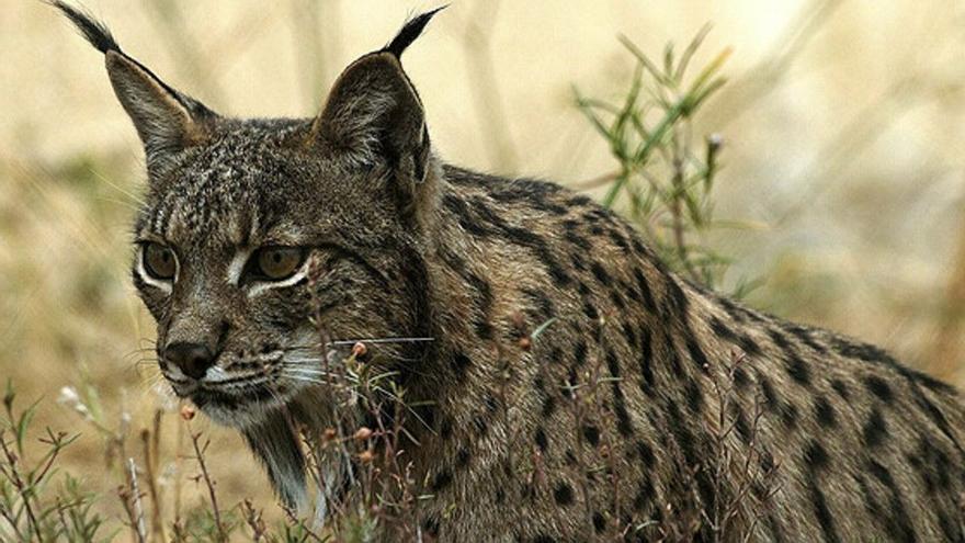 Ecologistas en Acción pide tres años de cárcel por matar un lince ibérico
