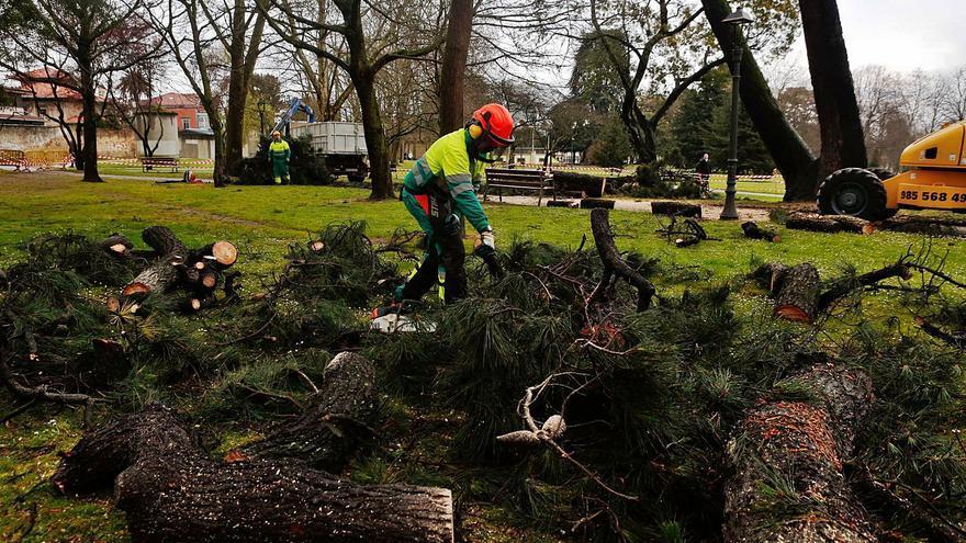 Un chequeo a los tres mayores parques avilesinos aconseja talar 43 árboles