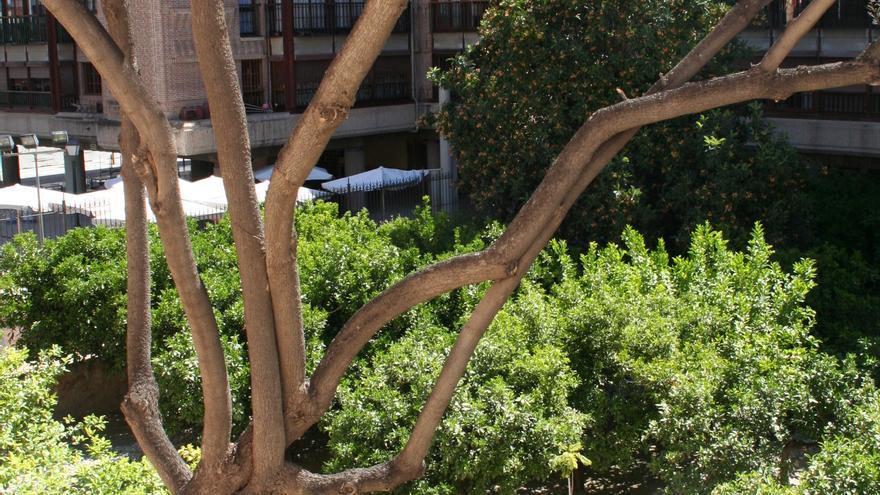 Un arborista intenta salvar la jacaranda del Palacio de Guevara