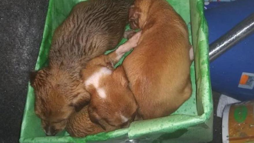 Encuentran seis cachorros abandonados en una contenedor de la capital