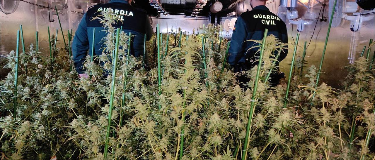 La espectacular plantación de marihuana encontrada por la Guardia Civil en Crevillent