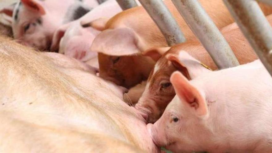 Mula dice sí al sector porcino