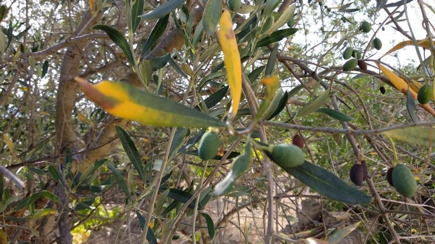 Trockenheit sorgt für Einbruch der Olivenernte auf Mallorca