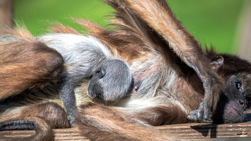 Neix al Zoo de Barcelona una mona aranya, espècie en perill crític d'extinció