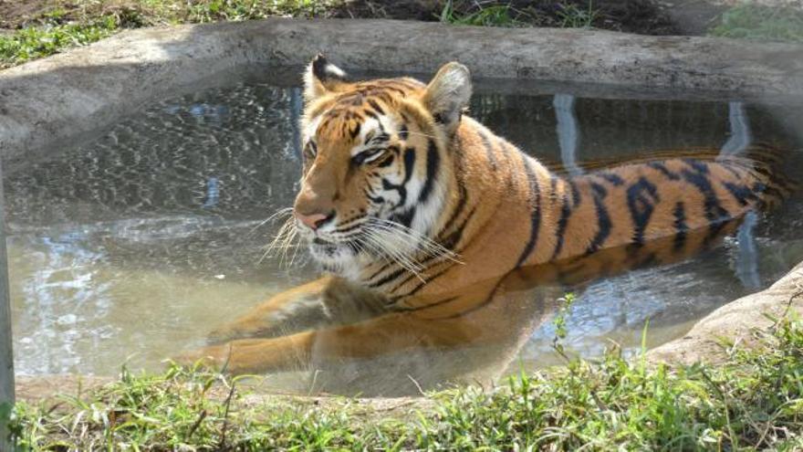 Llegan a Sudáfrica 12 tigres y 5 leones rescatados de circos