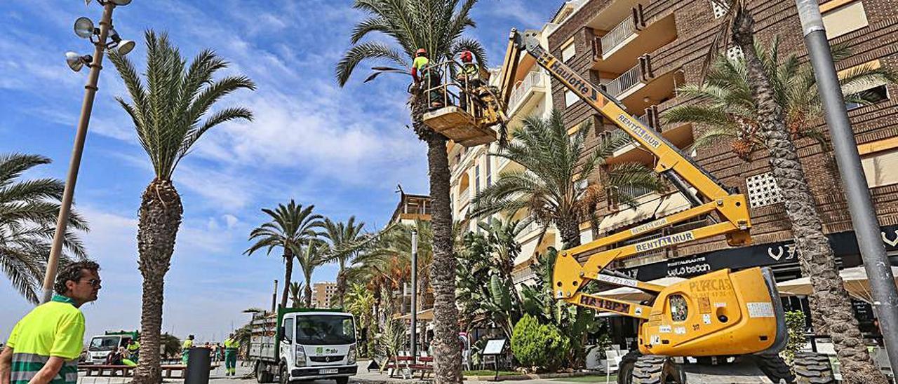 Imagen de la poda de palmeras en el centro de Torrevieja.   TONY SEVILLA