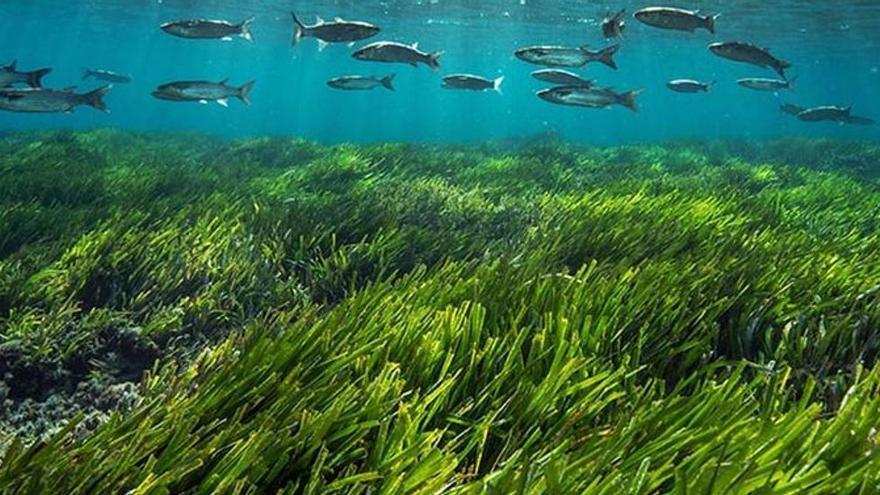 Un proyecto de la UIB sobre la posidonia, ganador de la iniciativa Save Posidonia Project de Formentera
