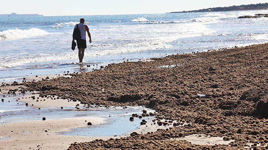 «Filomena» cubre de posidonia las playas de Elche y Santa Pola