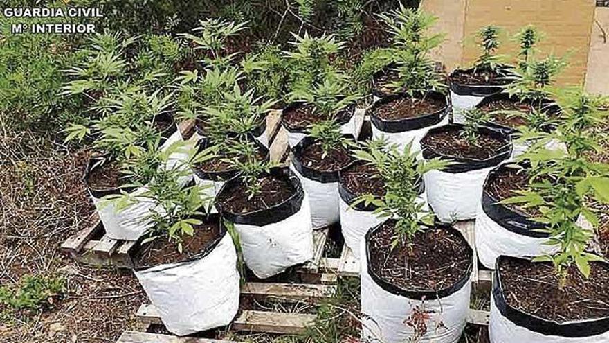 Intervienen 200 plantas de marihuana y armas en Menorca