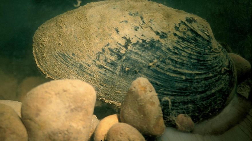El Gobierno impulsará un centro de cría de náyades auriculadas, un molusco gigante presente en el Ebro
