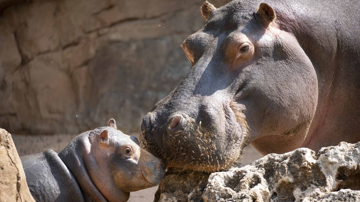 Gori, el pequeño hipopótamo nacido en los humedales africanos de BIOPARC València, junto a su madre.