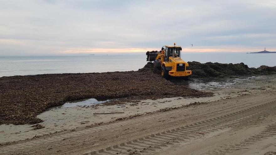 Infraestructuras y Litoral ponen en marcha un plan de acopio de algas en La Manga