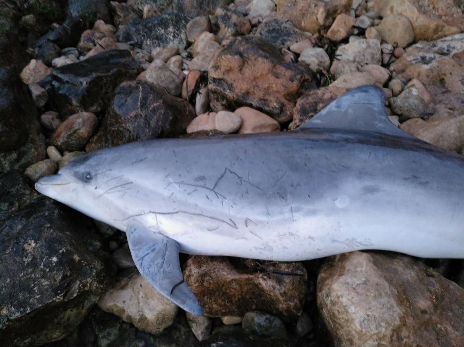 Aparece un delfín mular muerto de 2,2 metros en la cala de La Zorra de Torrevieja. Está en una zona de muy difícil acceso