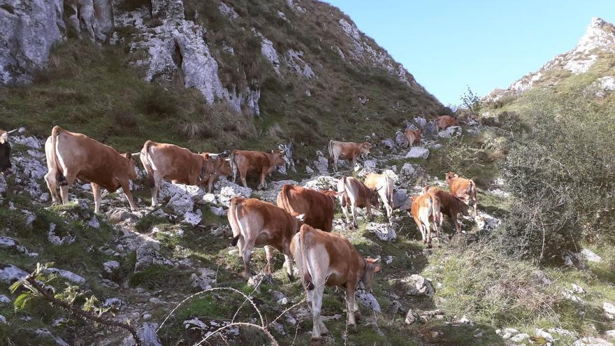 Las vacas tiran al puerto de la Montaña de Covadonga
