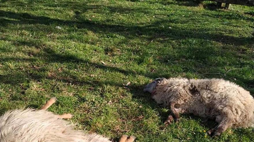 Los lobos matan tres ovejas en pleno pueblo de Villamorey